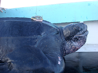 Male leatherback turtle Ian